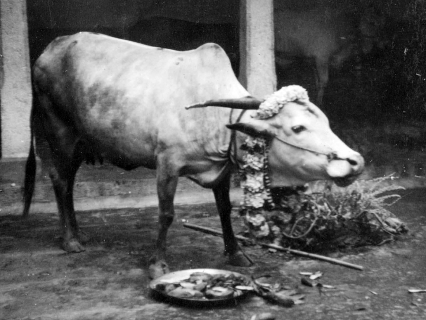 Cow lakshmi on pongal