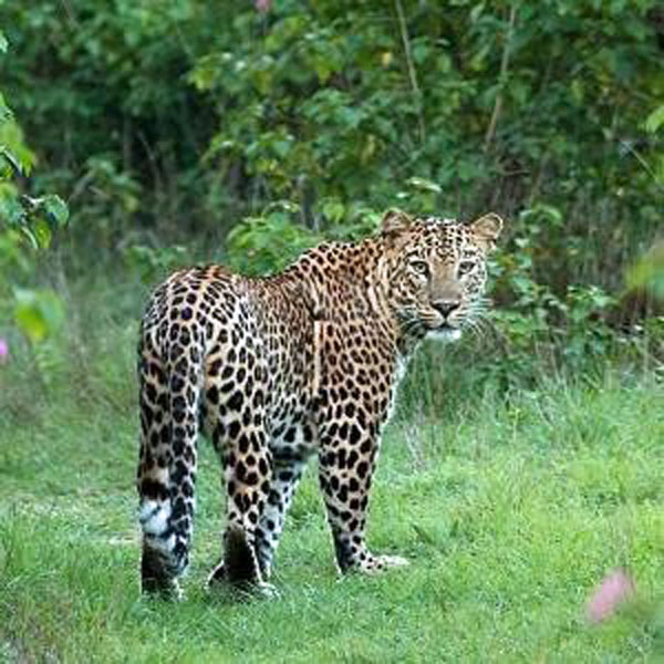 Leopard the jnani