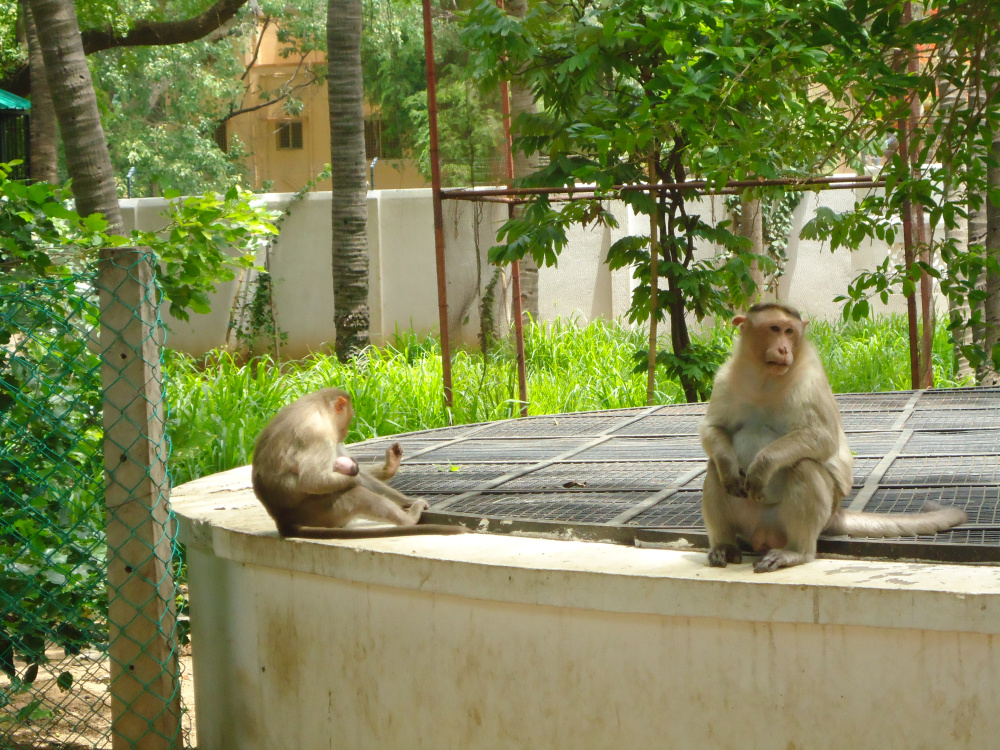 Monkeys at Ramanasramam
