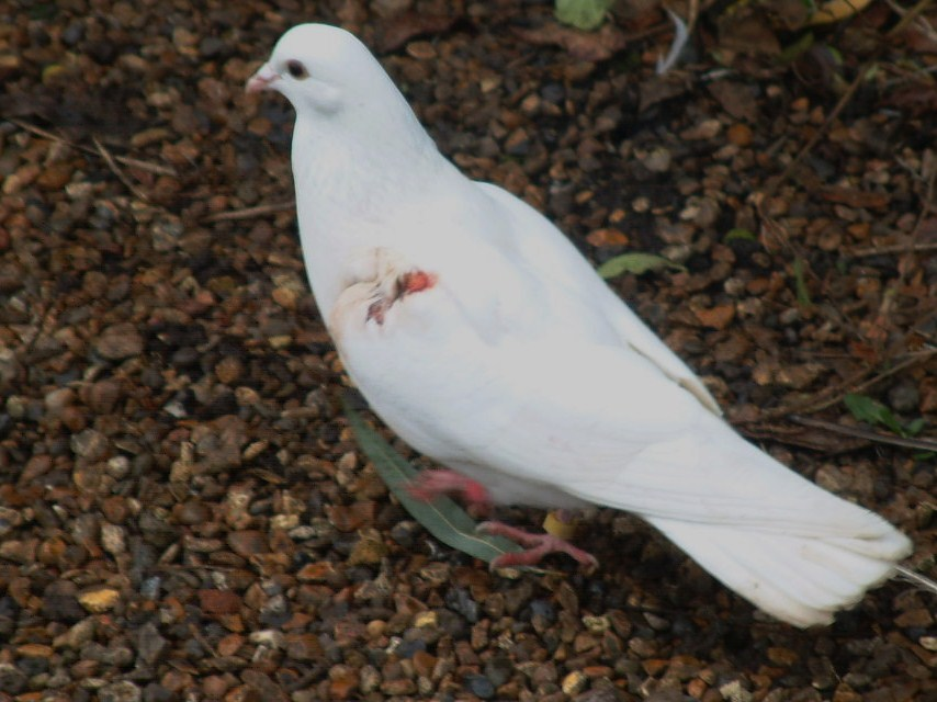 Wounded dove