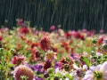 Beautiful-Flowers-in-rain-Latest-Wallpaper.jpg