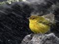 Lime-bird-under-the-rain.jpg