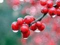 a-berries_after_a_rainfall-1464712.jpg