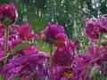 flowers_in_the_rain_wallpaper.jpg