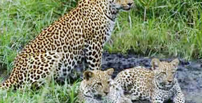 Ramana Maharshi and Animals
